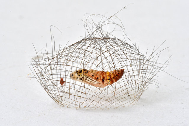 The cocoon of a Cynamoth pupa against a wall in Xishuangbanna, Yunnan, southwest China. The pupa wove a delicate 4cm-long cocoon cage with its hair-like setae. The cage provides protection against predators and once inside, the caterpillar spits out silk, spinning fine threads to suspend itself, head first from the cage while it becomes a pupa. The cage has an aperture at either end, out of which the caterpillar expels its outer layer after its final moult. Once it has reorganised its body, it emerges from the top as a white moth, decorated in red and black. (Behaviour: invertebrates category). (Photo by Minghui Yuan)