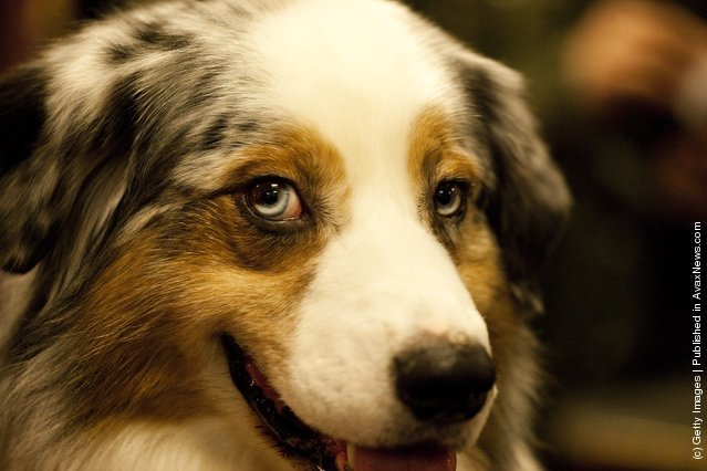 Grand Champion Oakhurst Crusin' in Chrome, an Australian Shepard, is greeted backstage at the Westminster Kennel Club Dog Show after winning best of opposite s*x
