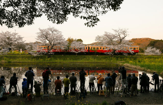 Amateur photographers try to capture nice images of two-car local train and full-bloomed cherry blossoms reflected on the water flowing to rice field in Ichihara, east of Tokyo, Japan, 13 April 2017. The rice planting will start at beginning of May at this area. (Photo by Kimimasa Mayama/EPA)