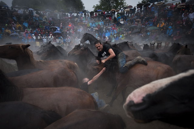 """Aloitadores"" (fighters) struggle with a wild horse during the ""Rapa Das Bestas"" (Shearing of the Beasts) traditional event in the Spanish northwestern village of Sabucedo, some 40 kms from Santiago de Compostela, on July 5, 2014. During the 400-year-old horse festival, hundreds of wild horses are rounded up from the mountains, trimmed and groomed. (Photo by Miguel Riopa/AFP Photo)"