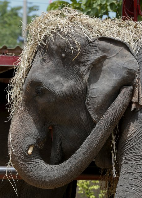 Straw covers the head of an elephant at a camp in the ancient Thai capital Ayutthaya, north of Bangkok, Thailand, August 11, 2015. (Photo by Chaiwat Subprasom/Reuters)