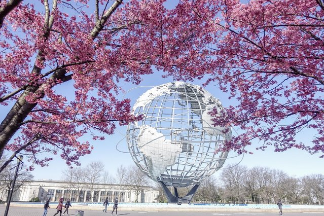 Cherry blossoms near the Unisphere at Flushing Meadows-Corona Park on March 16, 2020 in New York City. (Photo by Liao Pan/China News Service via Getty Images)