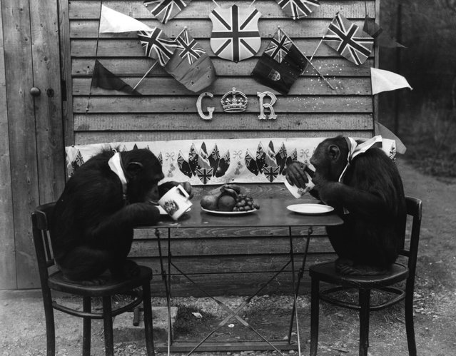 Two chimpanzees enjoy a cup of tea at Whipsnade, April 1937.  (Photo by Fox Photos)