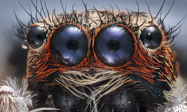 Honorable Mention by Emre Can Alagöz, Istanbul, Turkey: The eyes of a jumping spider, magnified 6x. (Photo by Emre Can Alagöz/2017 Nikon Small World Photomicrography Competition)