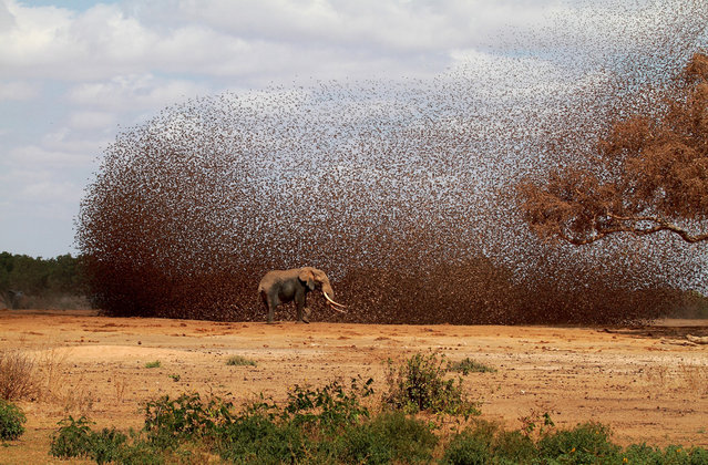 Chaos: A huge flock of Red-billed Queleas flies in to drink at the same time as an African Elephant in Tsavo National Park, Kenya. (Photo by Antero Topp/National Geographic Photo Contest