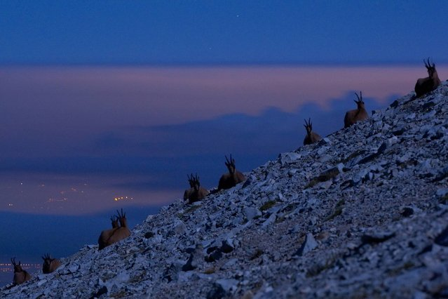 Chamois in the Apennines, Italy. (Photo by Bruno D'Amicis/Wildscreen Photography Festival 2014)