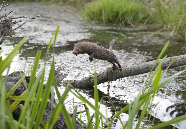 An American mink jumps at a creek near the village of Khatenchitsy, north of Minsk, September 15, 2015. (Photo by Vasily Fedosenko/Reuters)