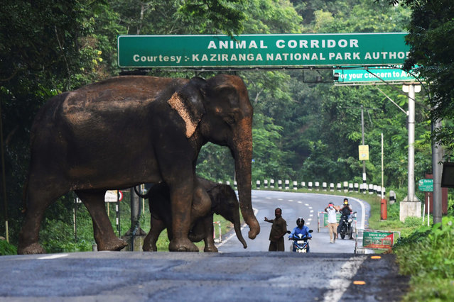 A a wild elephant and a calf cross a National Highway at the flood affected Kaziranga National Park in India's northeast state of Assam on July 16, 2020. People and animals alike have been affected – in India's Assam state, around 90 percent of the famous 430-square-kilometre (166-square-mile) Kaziranga National Park is under water, drowning several rhinos and wild boars. (Photo by AFP Photo/Stringer)