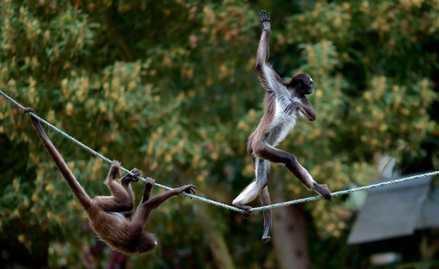 A marimonda monkey (Ateles hybridus) walks on a rope during environmental enrichment training at Bioparque Wakata in Jaime Duque park, in Briceno municipality near Bogota, Colombia, on July 30, 2020. The park closed due to the novel coronavirus pandemic, creating virtual programs to receive donations from the public to meet some economic demands and ensure the livelihood of the animals, launching a call to the government to be able to reopen the sector with the necessary security protocols. Colombia is one of the most biodiverse countries in the world. (Photo by Raúl Arboleda/AFP Photo)