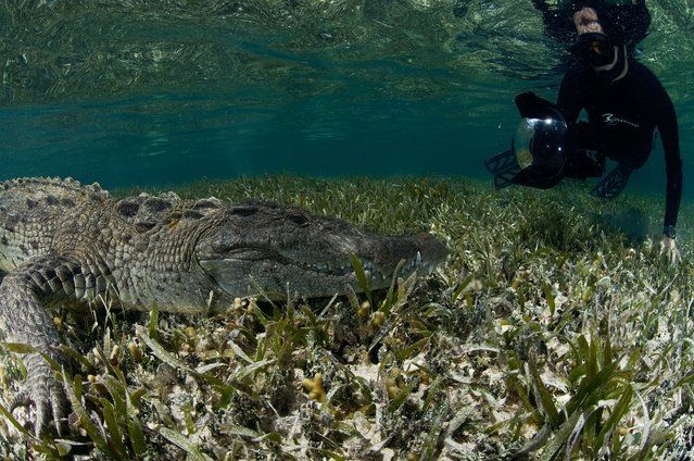 "A thrill-seeking photographer risked life and limb as he swam alongside a ten-foot-long American crocodile near Belize. Stunning pictures show Mexican underwater photographer Rodrigo Friscione getting up close and personal with the two-hundred-pound predator. Other shots show the curious croc check itself out in the camera lens and poke its head above water. Rodrigo, who runs a dive shop in Cancun, Mexico, took the spectacular images in Chinchorro Banks. ""What you see in these photos is a peaceful interaction with crocs"", he said. (Photo by Rodrigo Friscione/Mediadrumwor.com)"