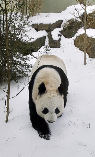 Tian Tian the Panda plays in the snow at Edinburgh Zoo on Monday, March 11, 2013. (Photo by Danny Lawson/PA Wire)
