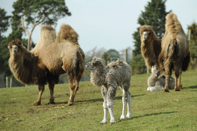 Two baby Bactrian camels explore their enclosure for the first time at West Midlands Safari Park, Bewdley, on Thursday, March 28, 2013. (Photo by Joe Giddens/PA Wire)