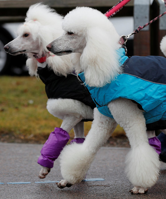 Poodles arrive for the third day of the Crufts Dog Show in Birmingham, Britain March 10, 2018. (Photo by Darren Staples/Reuters)