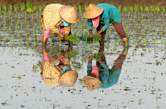 """""""Reflection"""". The rice fields in Indonesia are magnificent. They extend across the country and provide a stunning image of this exotic country. Location: Yogyakarta, Indonésia. (Photo and caption by Robson Barbosa/National Geographic Traveler Photo Contest)"""