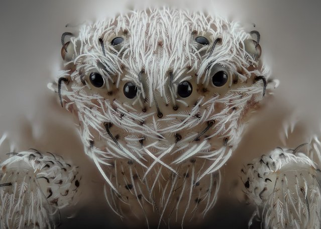 Try not to get hypnotised by this spider. (Photo by Javier Ruperez/Solent News & Photo Agency)