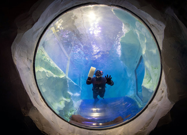 Animal care team member Simon Champion cleans the inside of the penguin pool at the National SEA LIFE Centre in Birmingham, England on November 17, 2020. (Photo by Joe Giddens/PA Images via Getty Images)