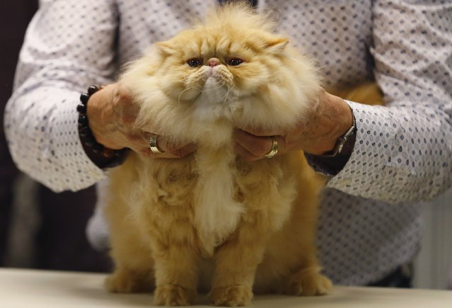 Cat judge Larry Adkison judges a cat during the annual cat show in Del Mar, California January 24, 2015. (Photo by Mike Blake/Reuters)