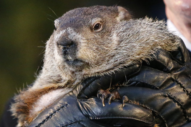 Punxsutawney Phil, the weather prognosticating groundhog, is held by the gloved hands of handler Ron Ploucha during the 129th celebration of Groundhog Day on Gobbler's Knob in Punxsutawney, Pa., Monday, February 2, 2015. Phil saw his shadow, predicting six more weeks of winter weather. (Photo by Gene J. Puskar/AP Photo)