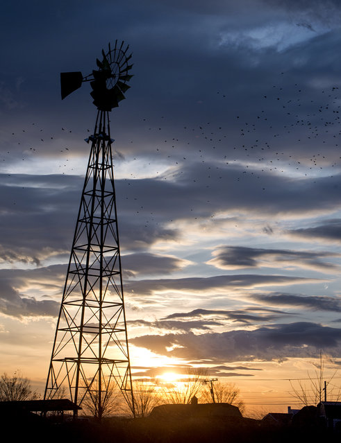 A flock of starlings fly near an old windmill in front of the Shenandoah Heritage Market, Tuesday, January 20, 2015 in Harrisonburg, Va. (Photo by Jason Lenhart/AP Photo/The Daily News-Record)