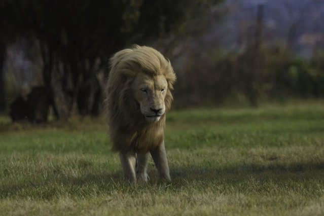 A male lion stands in the breeze at the Lion Park outside Johannesburg, South Africa, Wednesday February 4, 2015. (Photo by Jerome Delay/AP Photo)