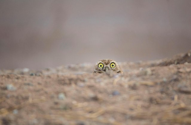 First one to blink, loses. (Photo by Shane Keena/Barcroft Images/Comedy Wildlife Photography Awards)