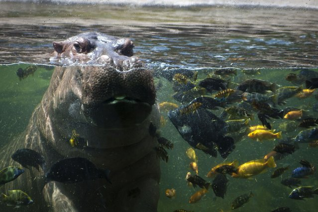 A hungry hippopotamus stares at guests at the San Antonio Zoo in Texas, on September 28, 2013. (Photo by Barcroft Media)