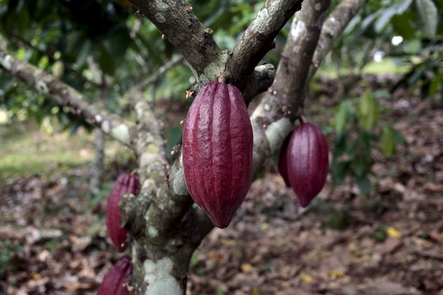Ripe cocoa pods are seen in a cocoa plantation at the San Miguel farm in Matagalpa, Nicaragua January 8, 2016. (Photo by Oswaldo Rivas/Reuters)