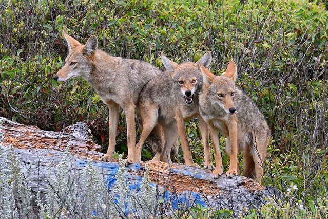 Coyotes also known as Bush Wolves adopt a defensive stance to defend their den in Pacific Grove, California on June 22, 2021. (Photo by Rory Merry/ZUMA Wire/Rex Features/Shutterstock)