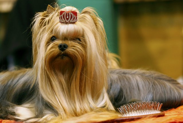 A Yorkshire Terrier waits to be shown during the first day of the Crufts Dog Show in Birmingham, Britain March 10, 2016. (Photo by Darren Staples/Reuters)
