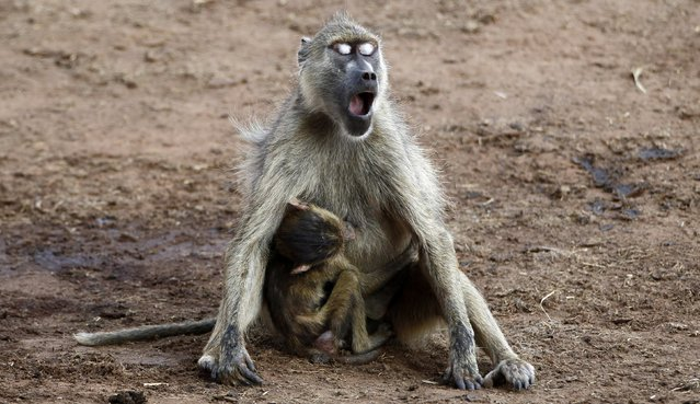 A baboon yawns while breastfeeding its baby at the Tsavo West national park within the Tsavo-Mkomazi ecosystem, southeast of Kenya's capital Nairobi, February 4, 2014. (Photo by Thomas Mukoya/Reuters)