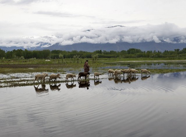 A man walks his sheep in a water-logged paddy field after recent rains in Srinagar April 30, 2015. (Photo by Danish Ismail/Reuters)