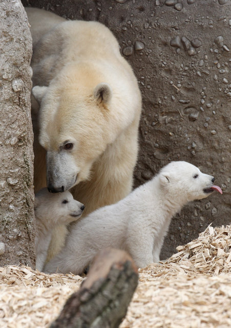 14 week-old twin polar bear cubs are seen with their mother Giovanna during their first presentation to the media in Hellabrunn zoo on March 19, 2014 in Munich, Germany. (Photo by Alexandra Beier/Getty Images)