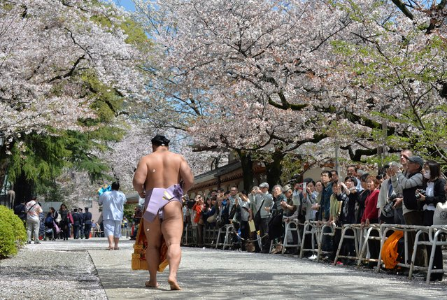 "A sumo wrestler walks under cherry trees in full bloom at a ceremonial sumo exhibition at Yasukuni shrine in Tokyo on April 4, 2014. Sumo wrestlers took part in a ""honozumo"", a ceremonial one-day exhibition for hundreds of spectators held within the shrine's precincts. (Photo by Kazuhiro Nogi/AFP Photo)"
