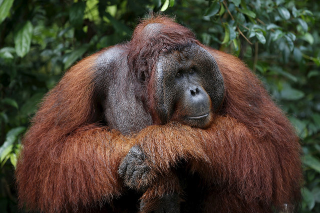 A male orangutan waits at a feeding station at Camp Leakey in Tanjung Puting National Park in Central Kalimantan province, Indonesia June 15, 2015. Deforestation is the primary threat to the orangutan, a species of great ape known for its intelligence. The United Nations predicts that orangutans will be virtually eliminated in the wild within two decades if current deforestation trends continue. (Photo by Darren Whiteside/Reuters)