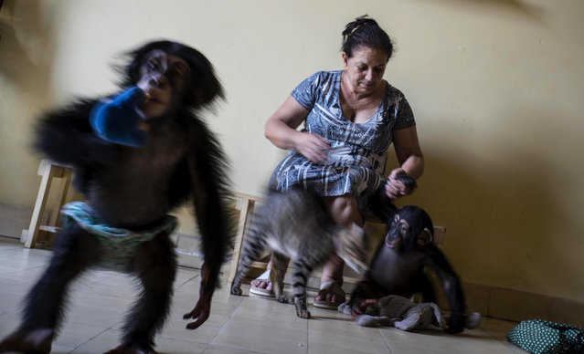 In this April 4, 2017 photo, zoologist Martha Llanes caresses baby chimpanzee Anuma II, right, while Ada plays, at Llanes' apartment in Havana, Cuba. She leaves her home a few hours each week when another zoologist delivers milk, fruit and cleaning products, and cares for the animals while Llanes takes a break. (Photo by Ramon Espinosa/AP Photo)