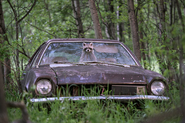 An ever-adaptable raccoon pokes her bandit-masked face out of a 1970s Ford Pinto on a deserted farm in Saskatchewan, Canada. In the back seat, her five playful kits trill with excitement. On this evening, she paused at the exit to check the surroundings before squeezing out to spend the night looking for food. (Urban wildlife category). (Photo by Jason Bantle)