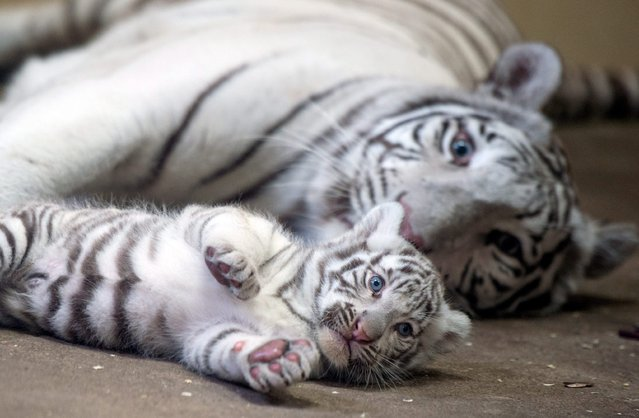 "White mother Bengali tiger ""Manji"" with one of her two white cubs in their enclosure at Zoo Safari in Borysew, central Poland, 24 July 2015. Two rare white tigers were born in Zoo Safari on 14 July. (Photo by Grzegorz Michalowski/EPA)"