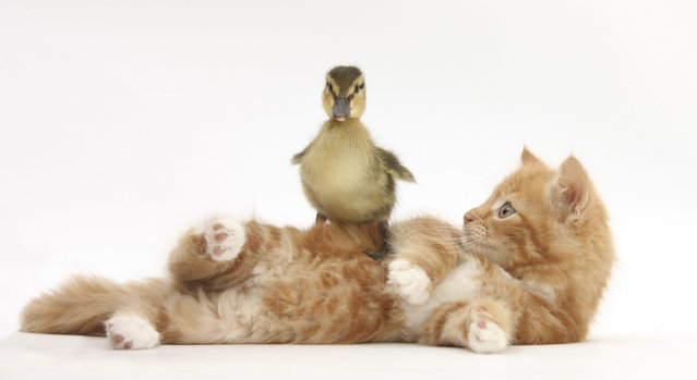 Kittens quickly adjust to life inside the studio, and often find other animals fascinating playmates