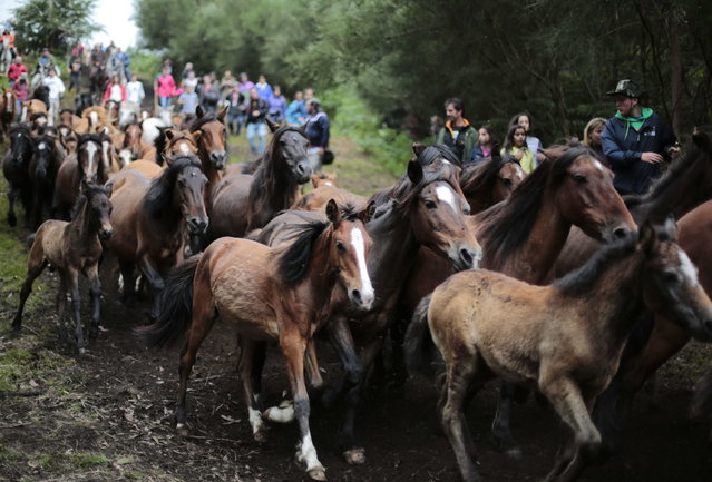 Horses gallop during the Rapa das Bestas traditional event in the Spanish northwestern village of Sabucedo July 5, 2014. On the first weekend of the month of July, hundreds of wild horses are rounded up, trimmed and groomed in different villages in the Spanish northwestern region of Galicia. (Photo by Miguel Vidal/Reuters)