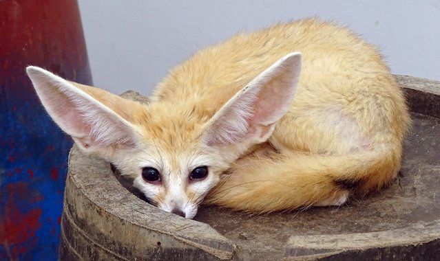 A desert fox is seen at a park in Ulsan, South Gyeongsang Province, South Korea, 14 July 2014. The animal was confiscated from a smuggler recently detained for illegally bringing the rare animal from Sudan into the country. (Photo by Yonhap/EPA)