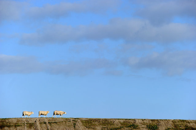 Three sheep walk along the North Sea Dike in Dagebuell, northern Germany, on August 27, 2012. (Photo by Carsten Rehder/AFP)