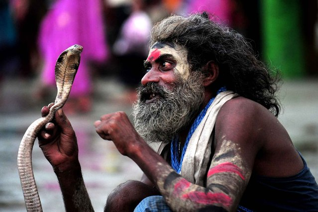An Indian snake charmer handles a cobra while waiting for alms from Hindu devotees during the Teej festival at the Sangam in Allahabad on August 28, 2014. The three-day long Teej festival, celebrated by Hindu women in Nepal and some parts of India, is observed with married women fasting during the day and praying for long lives for their husbands, while unmarried women wish for handsome husbands and happy conjugal lives. (Photo by Sanjay Kanojia/AFP Photo)