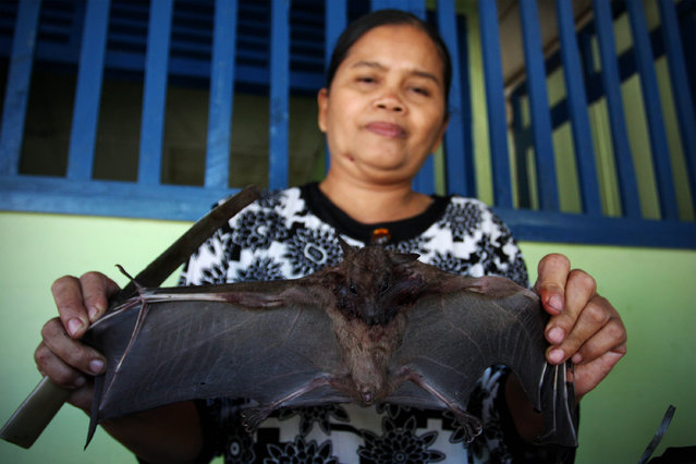 Bat seller Sukarwati shows a bat on July 30, 2009 in Yogyakarta, Indonesia. Sukarwati and her family have hunted bats in the Imogiri region for generations, capturing more than 800 bats per month. The Sukarwati family believe that the meat from the bat heals asthma and respiratory problems and it is a great honour for them knowing that the meat that they provide will help ease people's health ailments. (Photo by Ulet Ifansasti)
