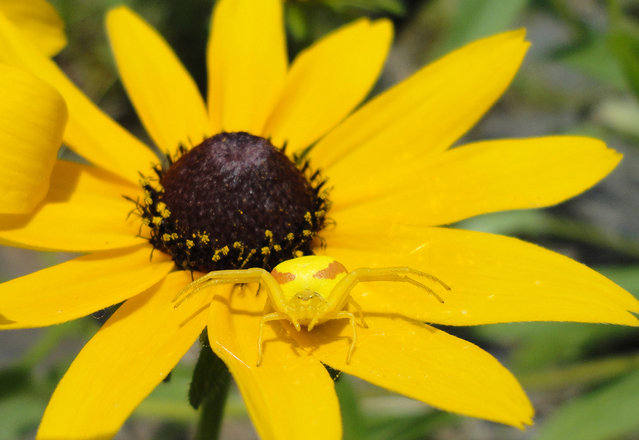 Yellow Spider on a Yellow Flower: I sat down to watch our children play in the lake and this colorful one found me sitting beside her. Photo taken in Dorset, Ontario, Canada. (Photo by Jeremy Crawford/National Geographic Photo Contest