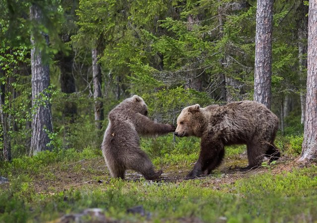 The mother bear and the boy pictured playing in Finnish forests, taken in Suomussalmi, Finland. (Photo by Hannele Kaihola/Comedy Wildlife Photography Awards/Barcroft Media)