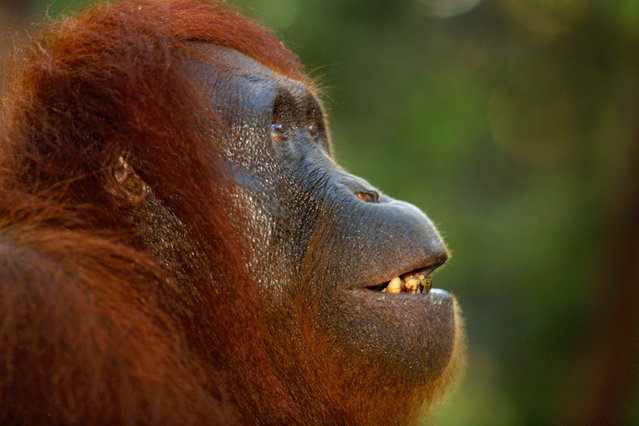 An adult female Orangutan watches her baby play in a nearby tree September 1, 2001 near Camp Leakey at the Tanjung Puting National Park in Kalimantan on the island of Borneo, Indonesia. (Photo by Paula Bronstein/Getty Images)