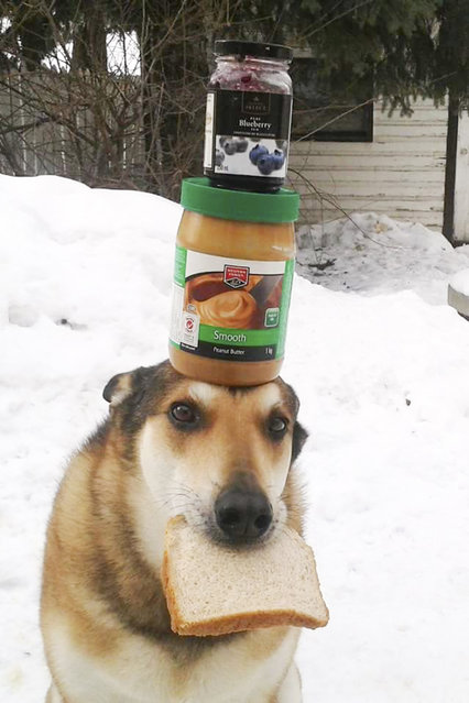 Toby balances jars on his head with a piece of bread in his mouth. (Photo by Pat Langer/Caters News Agency)