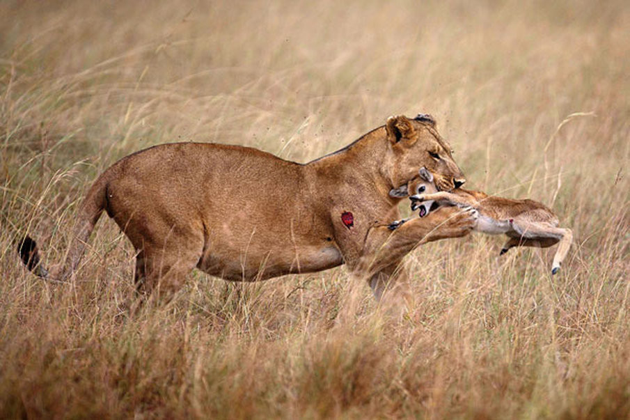 Lioness Rescues Baby Antelope