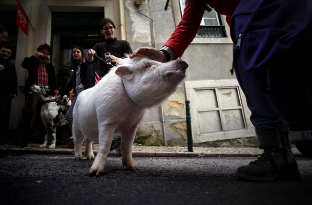 """A woman stops to pat """"Manchas"""" or """"Spots"""", a pet pig being walked by its owner Claudia Botas, in Lisbon's Graca neighborhood, on January 12, 2013. (Photo by Francisco Seco/Associated Press)"""