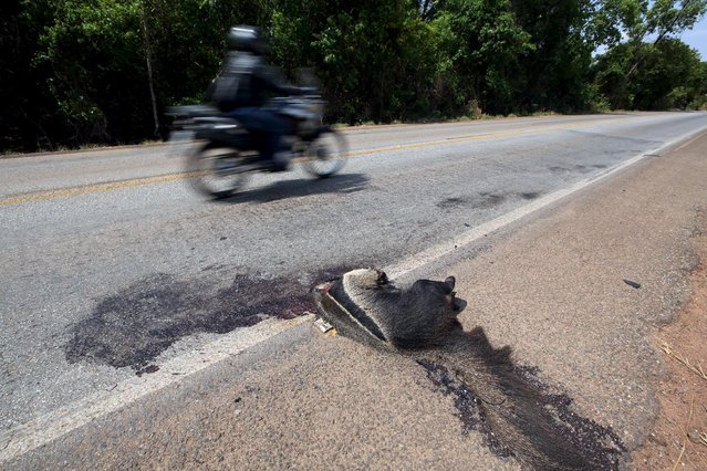 A dead giant anteanter, an endangered animal in Brazil according to IBAMA (Brazilian Institute of Environment and Renewable Natural Resources), lies beside Highway GO 070 in Goias, Brazil, October 5, 2015. There are 15 animals killed on the roads in Brazil per second, or 1.3 million a day and up to 475 million per year, according to the projection CBEE (Brazilian Center for Studies on Road Ecology), the Federal University of Lavras (MG). (Photo by Paulo Whitaker/Reuters)
